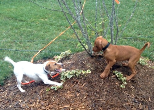 Kepler and Sanna playing in my friend's back yard